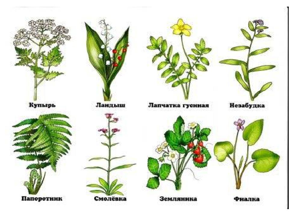 растения леса беларуси в картинках с названиями первую