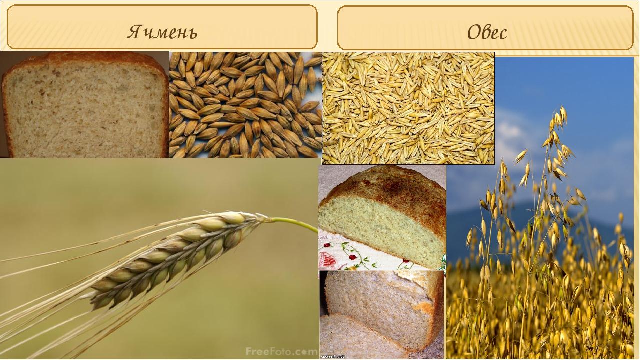 Ячмень и член цены на пшеницу
