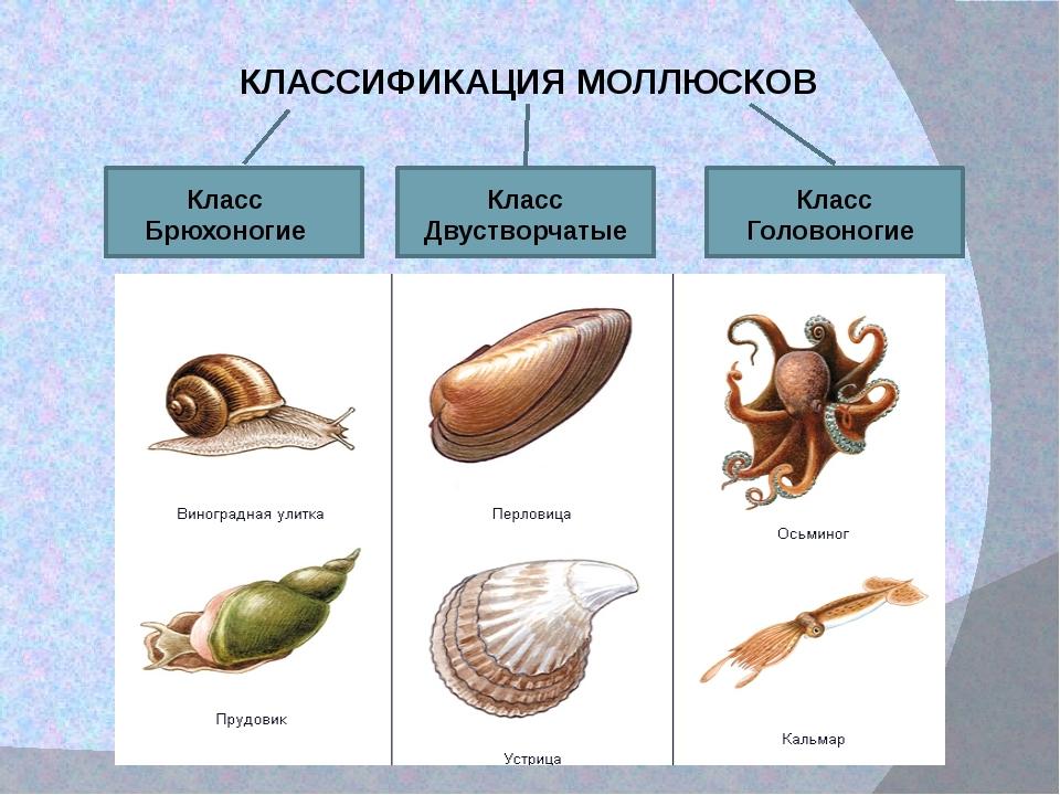 картинки брюхоногих и двустворчатых моллюсков результат получается единственном