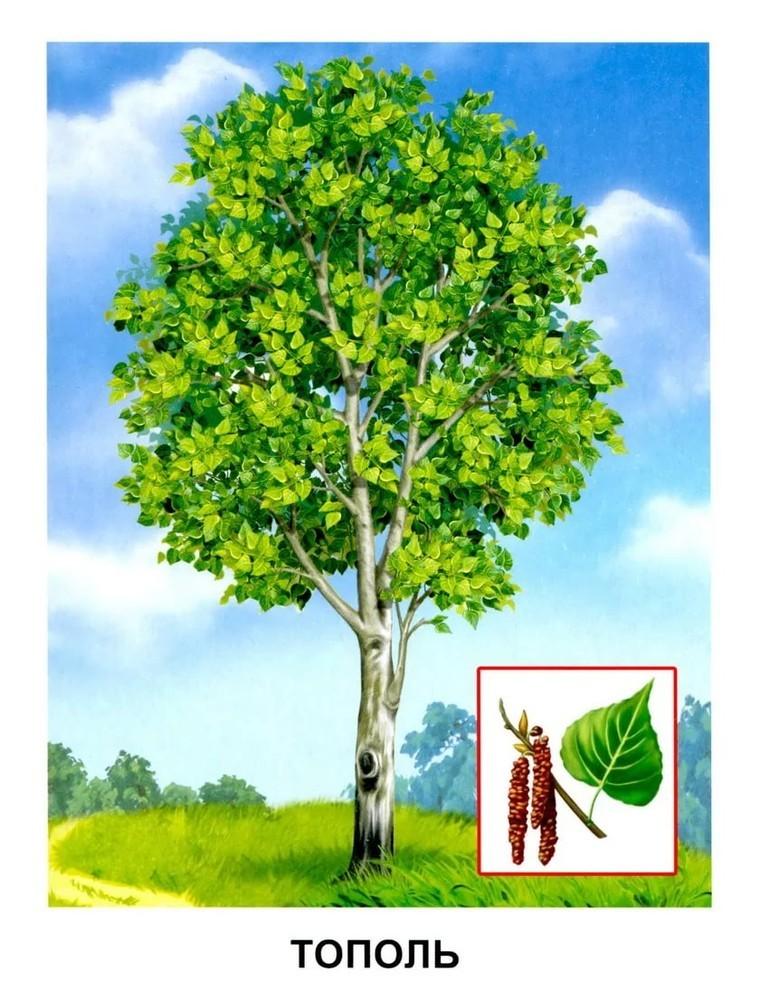 тополь дерево картинка для чистого сердца
