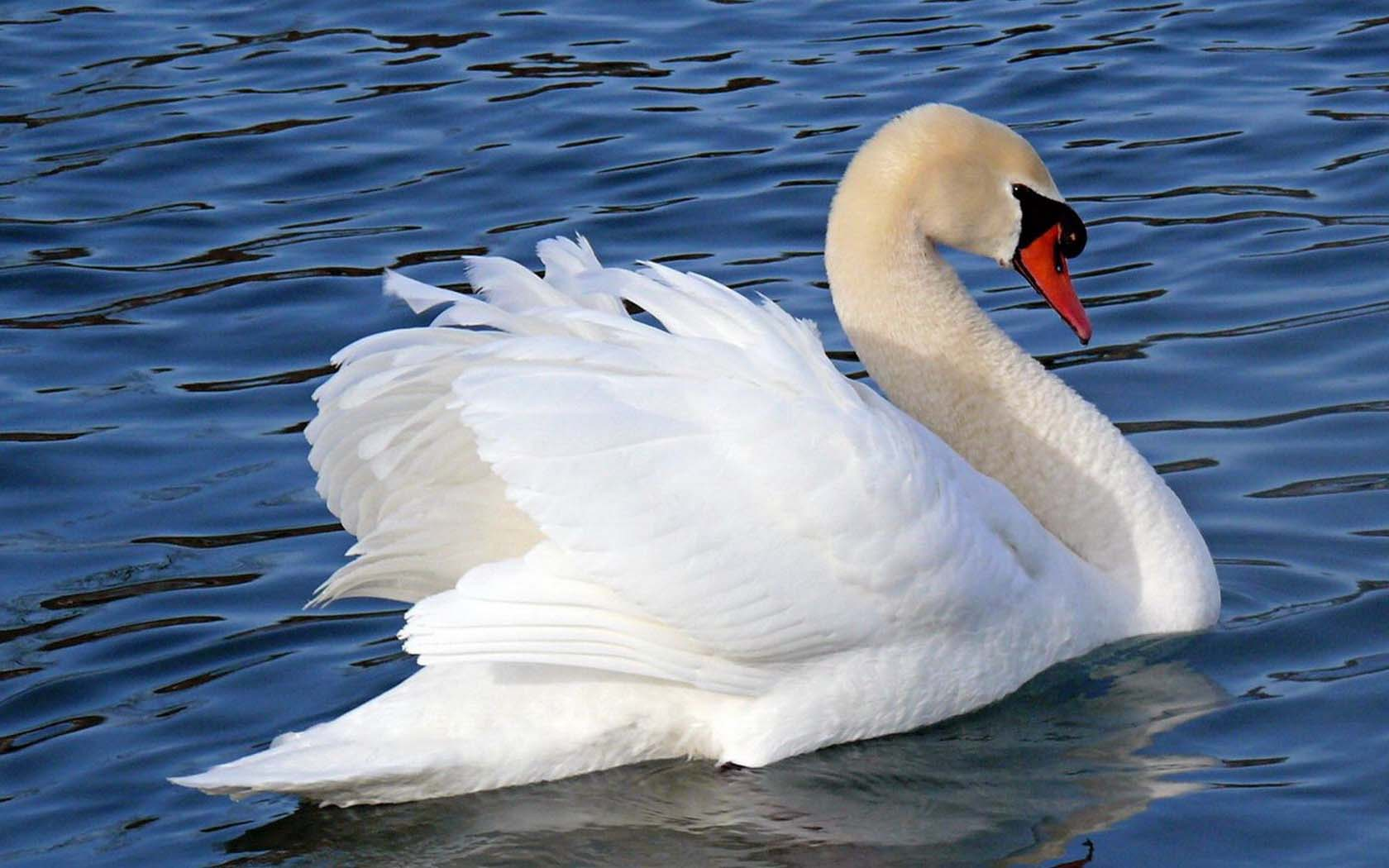 Лебеди бесплатно