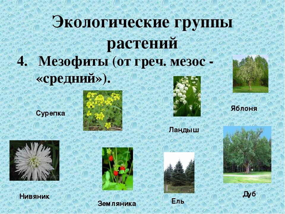 Экологические группы растений 4. Мезофиты (от греч. мезос - «средний»). Суреп...