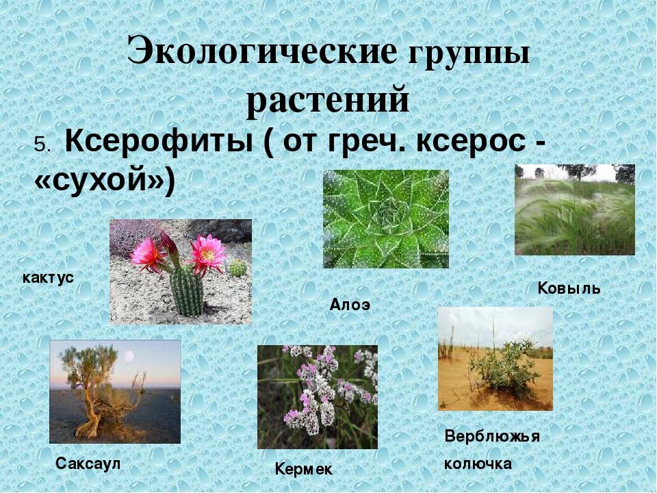 Экологические группы растений 5. Ксерофиты ( от греч. ксерос - «сухой») какту...