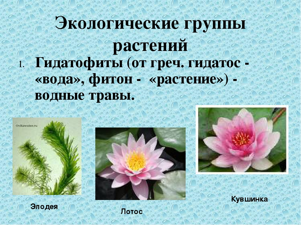 Экологические группы растений 1. Гидатофиты (от греч. гидатос - «вода», фитон...