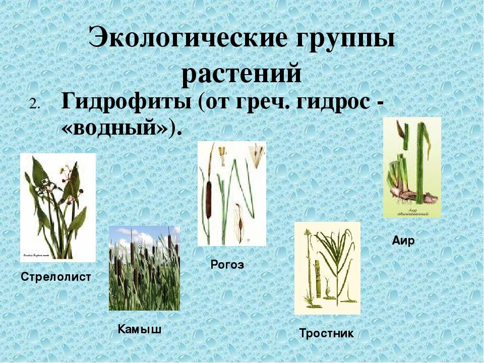 Экологические группы растений 2. Гидрофиты (от греч. гидрос - «водный»). Стре...