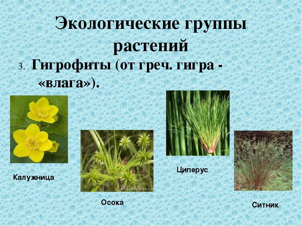 Экологические группы растений 3. Гигрофиты (от греч. гигра - «влага»). Калужн...