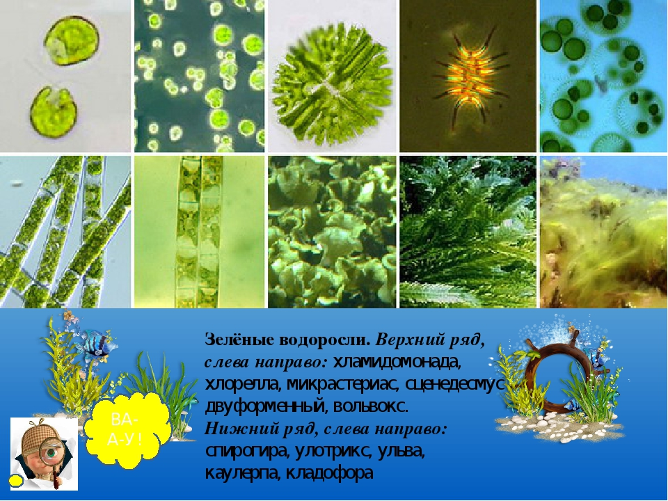 спирогира вольвокс 6 класс биология