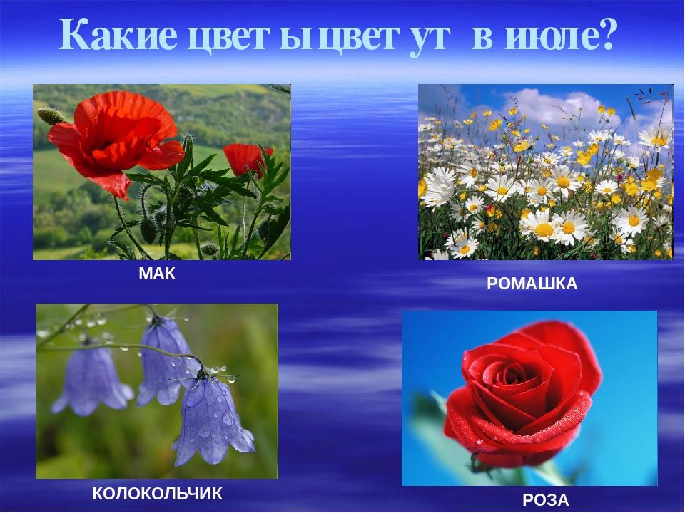 Какие цветы цветут в июле? МАК КОЛОКОЛЬЧИК РОЗА РОМАШКА