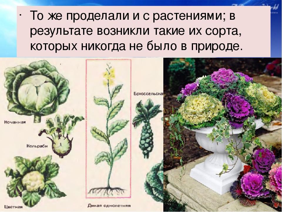 То же проделали и с растениями; в результате возникли такие их сорта, которы...