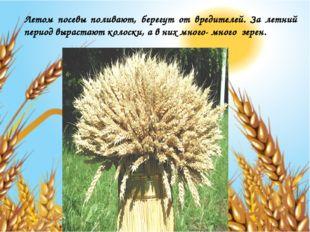 Летом посевы поливают, берегут от вредителей. За летний период вырастают коло
