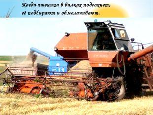Когда пшеница в валках подсохнет, её подбирают и обмолачивают.