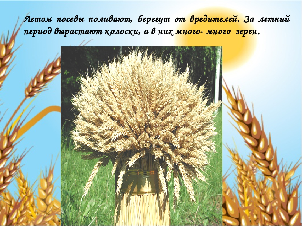 Летом посевы поливают, берегут от вредителей. За летний период вырастают коло...