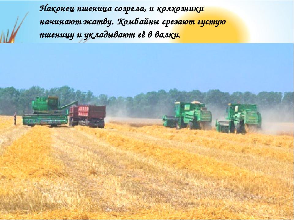 Наконец пшеница созрела, и колхозники начинают жатву. Комбайны срезают густую...