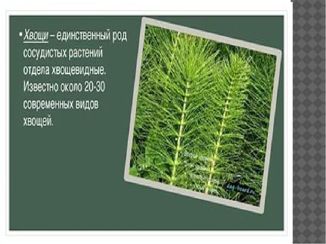 хвощевидные растения презентация