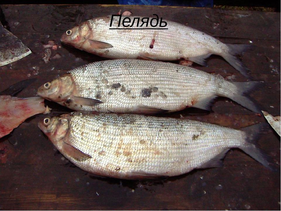 Рыба пелядь фото и описание