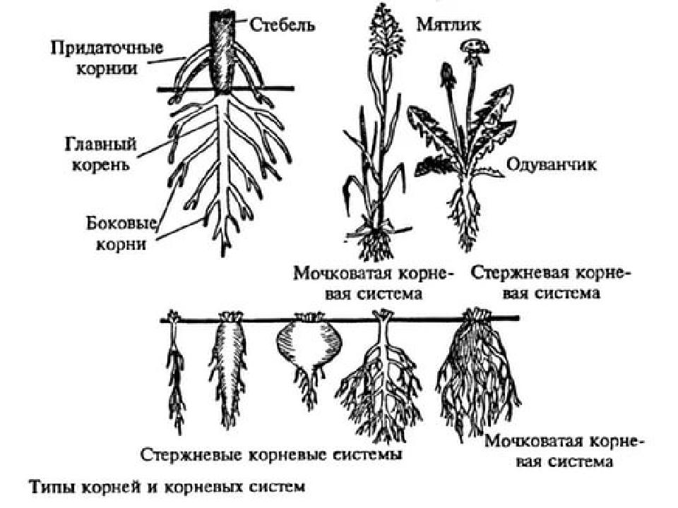 """Презентация по биологии """"ботаника. подготовка к егэ""""."""
