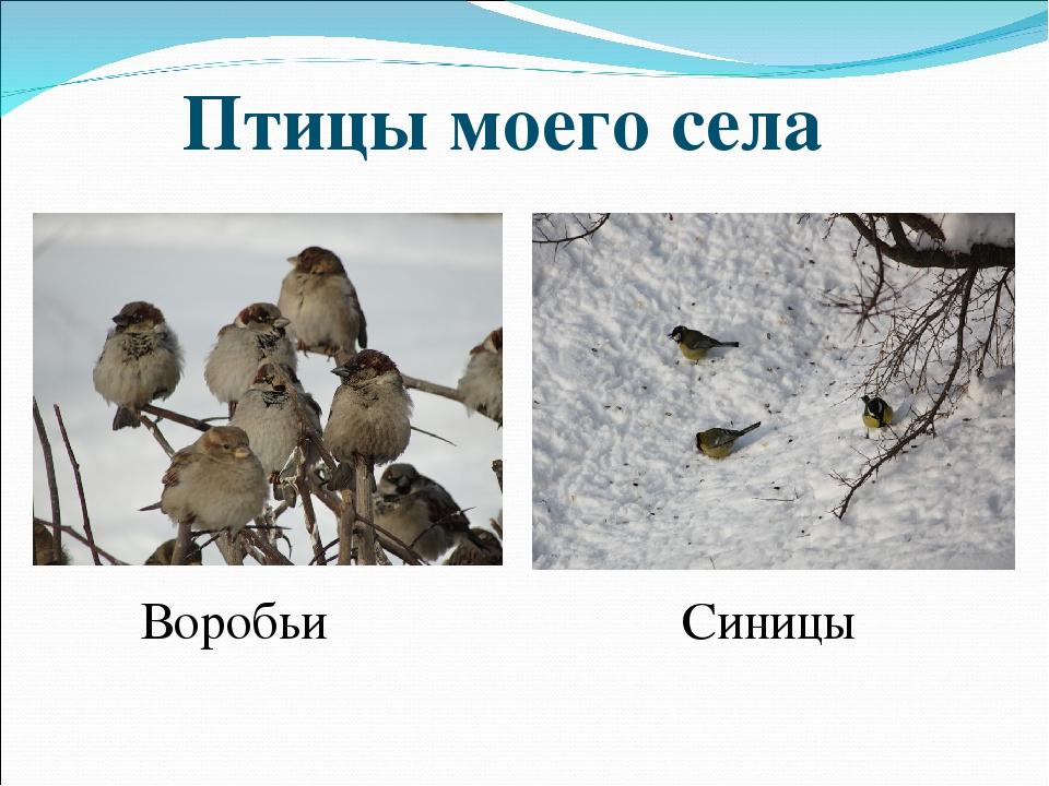 Птицы моего села Воробьи Синицы
