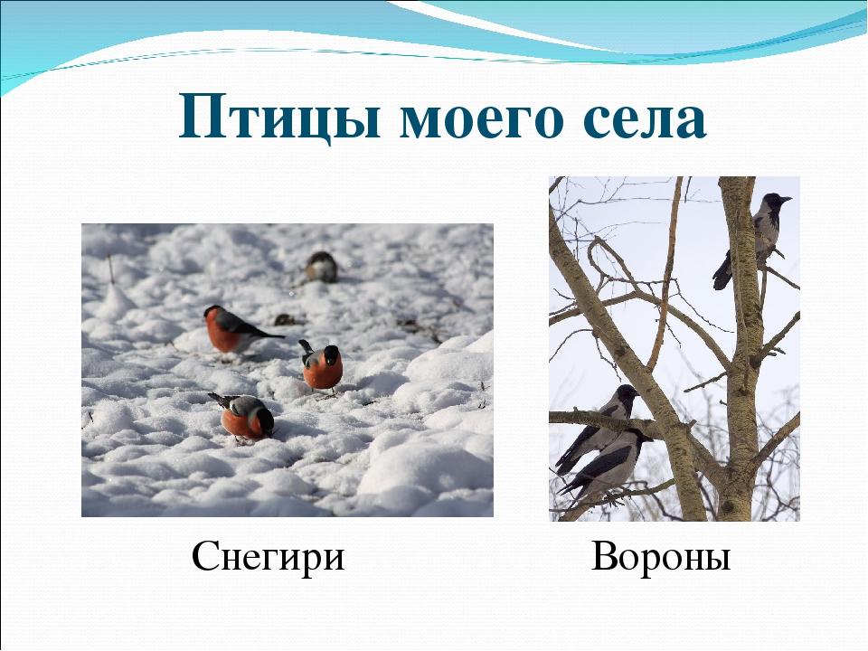 Птицы моего села Снегири Вороны