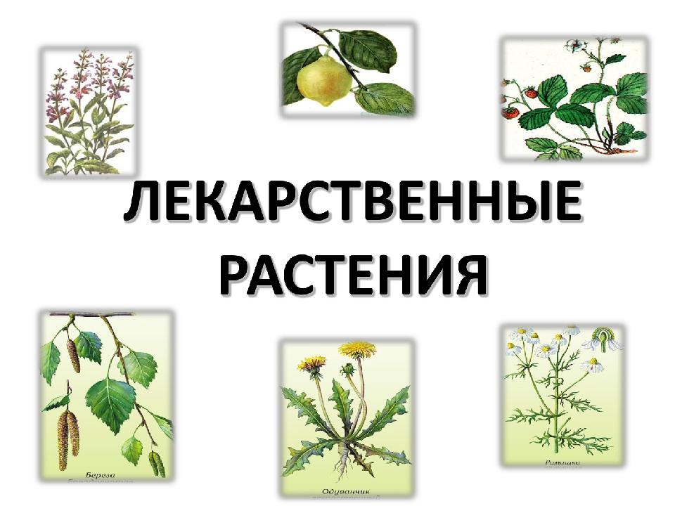 Картинки лекарственные растения для детей, филина нарисованные