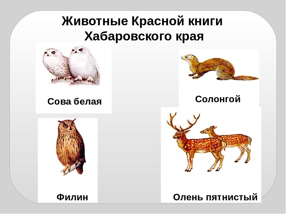 Животные красной книги хабаровского края картинка