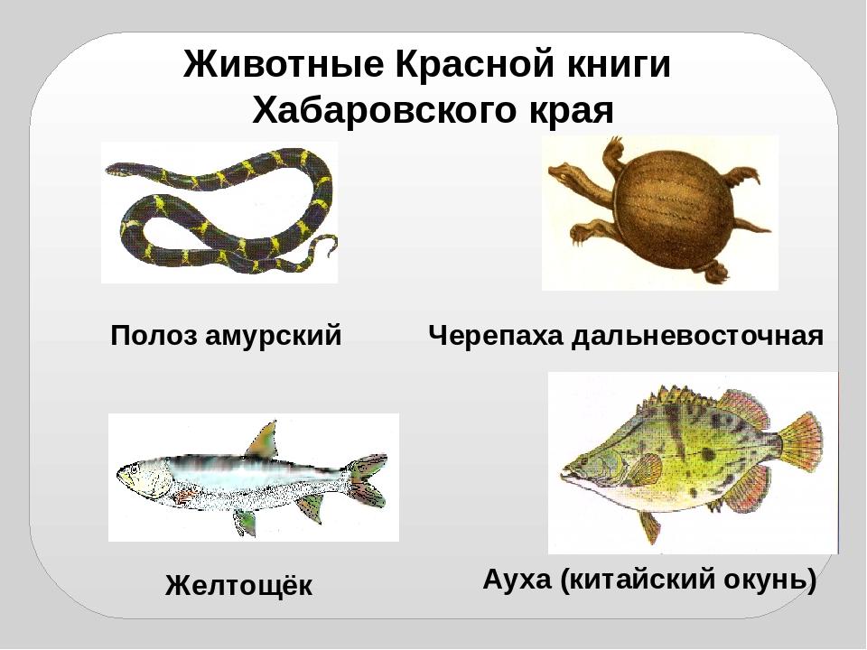 животные красная книга хабаровского края система налогообложения отличается