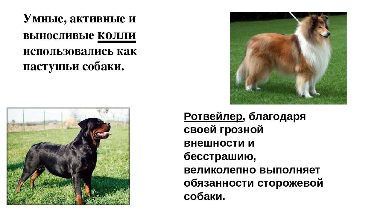 Умные, активные и выносливые колли использовались как пастушьи собаки. Ротвей...