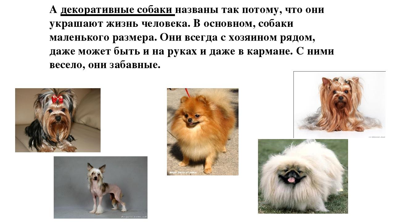 А декоративные собаки названы так потому, что они украшают жизнь человека. В...