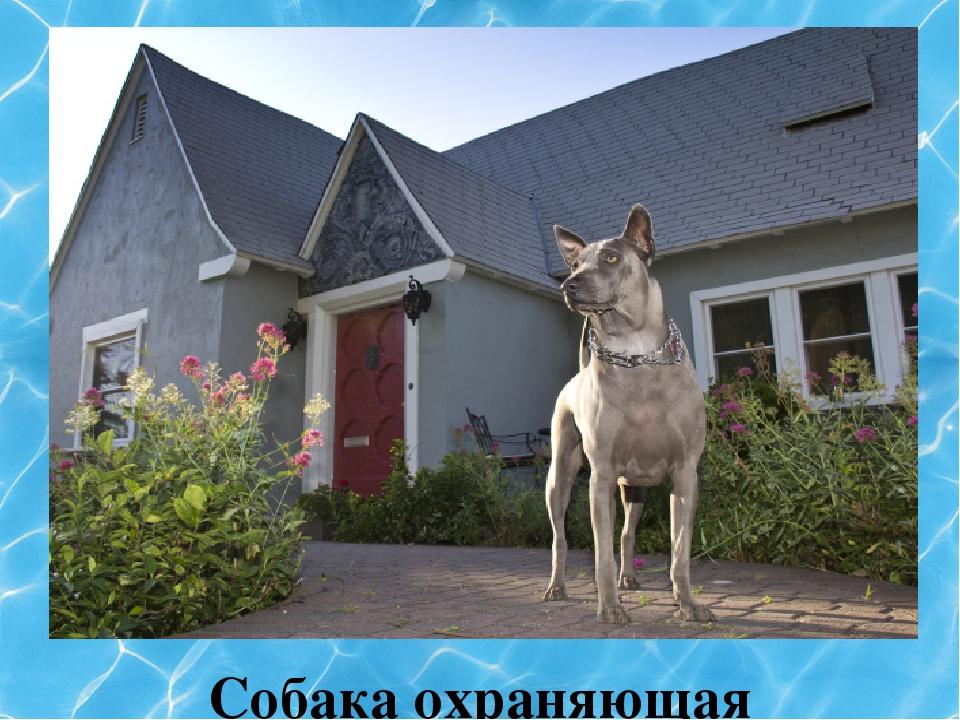 Собака охраняющая дом