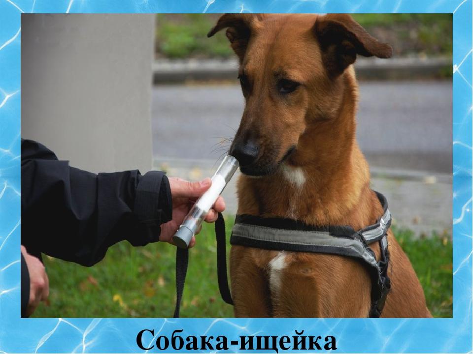 Собака-ищейка