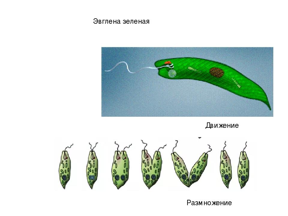 Фотосинтез у эвглены зеленой происходит в
