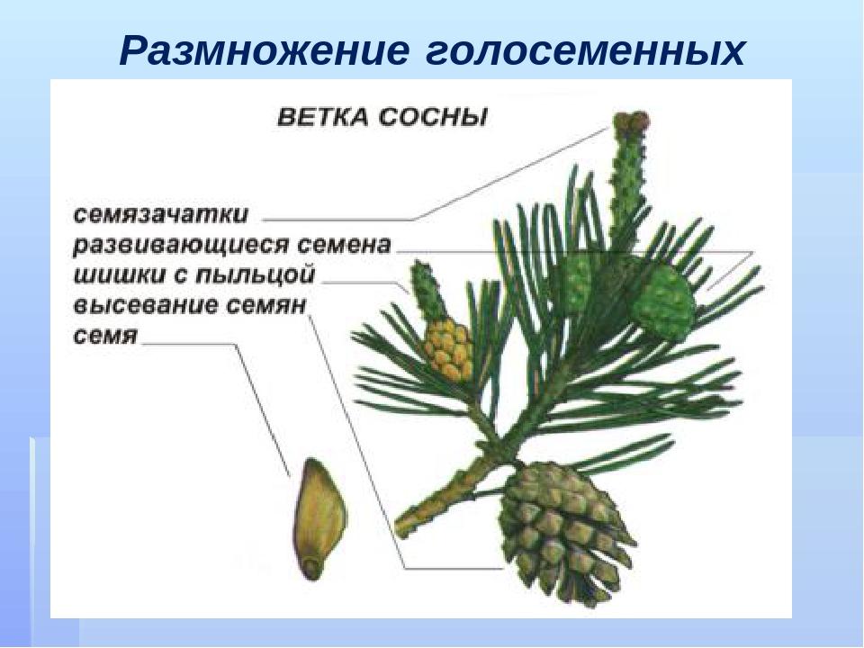 стирке какого цвета и формы листья на сосне выполнения основных функций