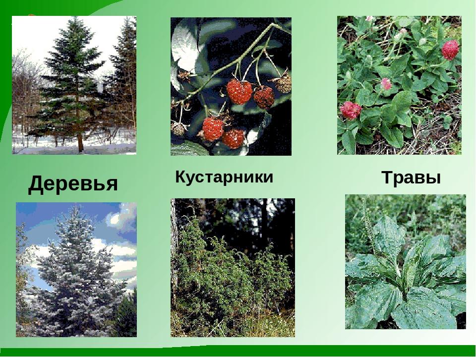 картинки групп растений деревья кустарники и травы камеди давно