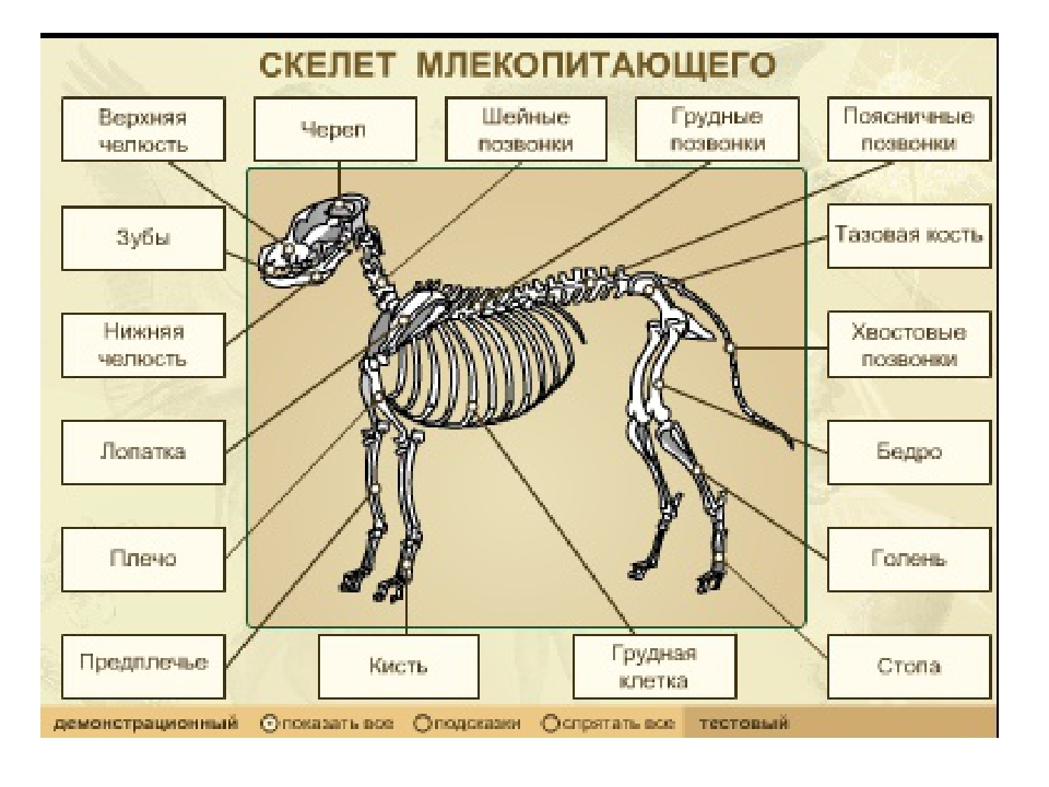 рассмотрите рисунок напишите названия костей скелета млекопитающих есть