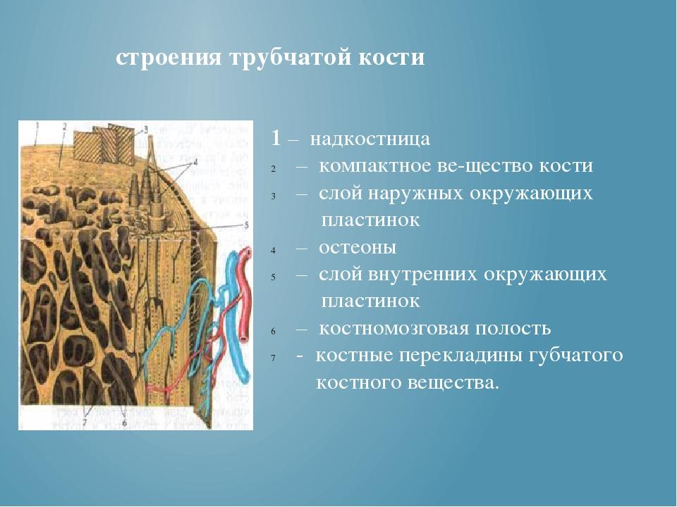 строения трубчатой кости 1 – надкостница – компактное вещество кости – слой...