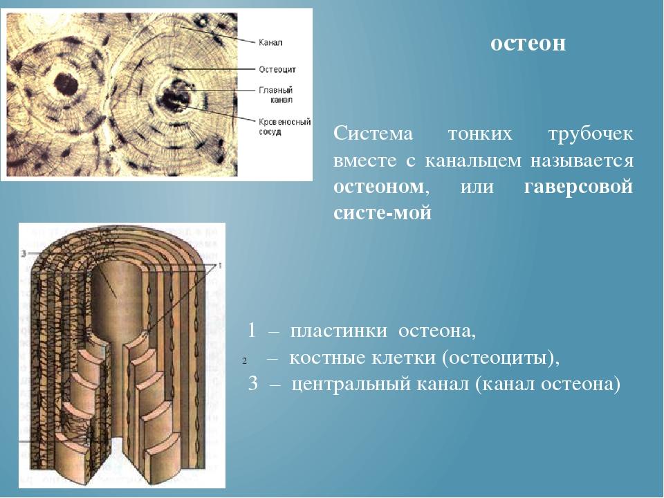 остеон 1 – пластинки остеона, – костные клетки (остеоциты), 3 – центральный...