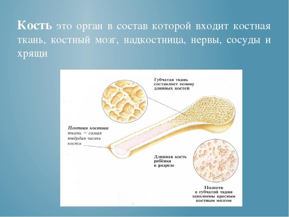 Кость это орган в состав которой входит костная ткань, костный мозг, надкост...
