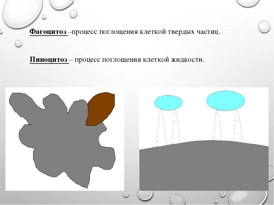 Фагоцитоз –процесс поглощения клеткой твердых частиц. Пиноцитоз – процесс пог...