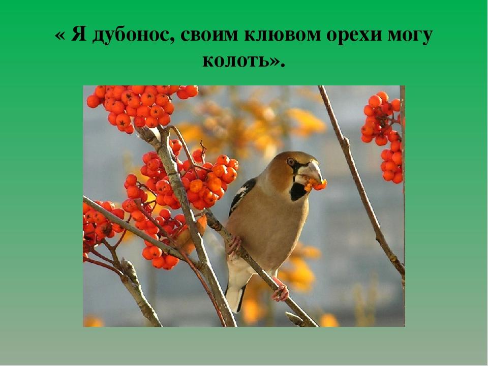 « Я дубонос, своим клювом орехи могу колоть».