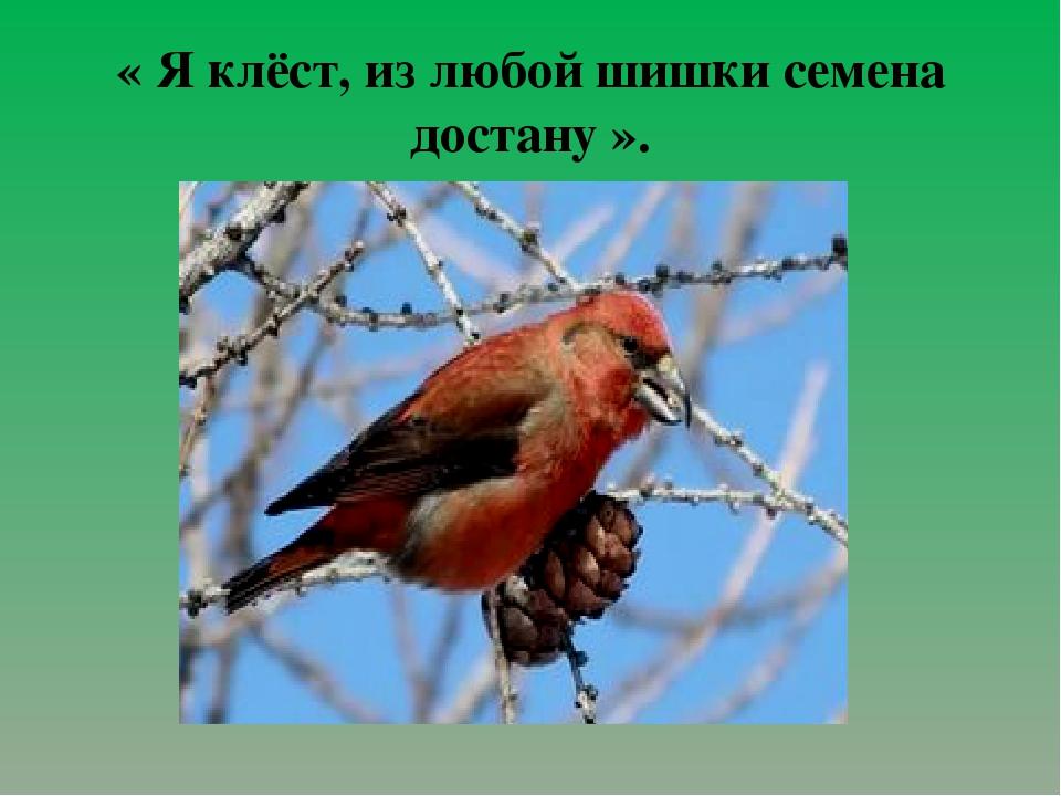 « Я клёст, из любой шишки семена достану ».