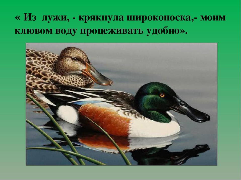 « Из лужи, - крякнула широконоска,- моим клювом воду процеживать удобно».