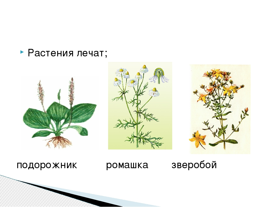 Части цветка ромашки
