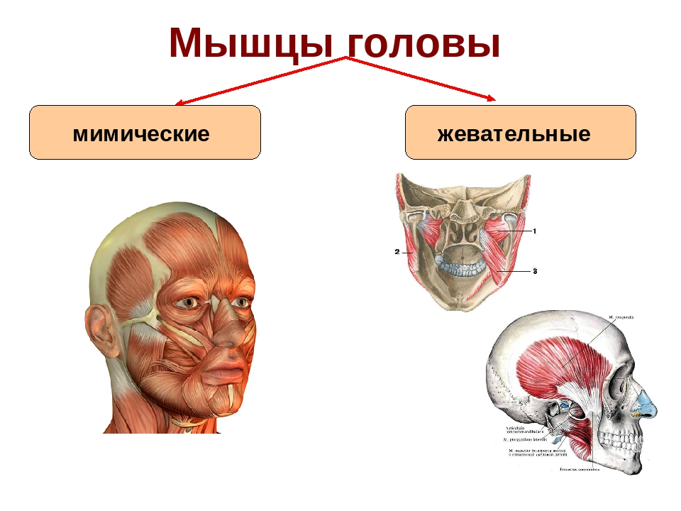 Строение мышц головы картинки