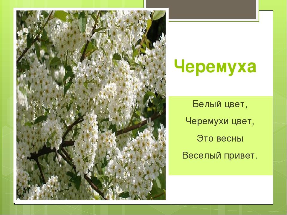 белая черемуха весны олег пахомов