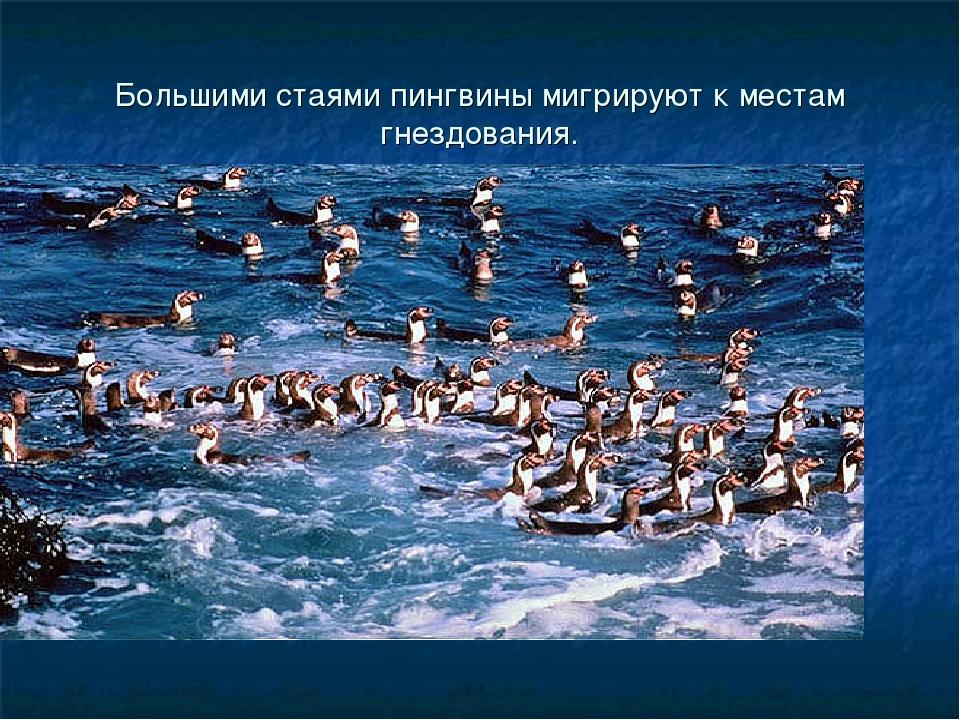 Большими стаями пингвины мигрируют к местам гнездования.