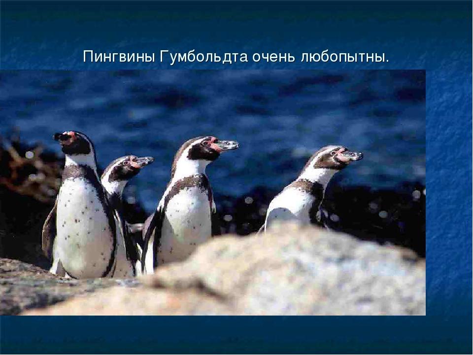 Пингвины Гумбольдта очень любопытны.