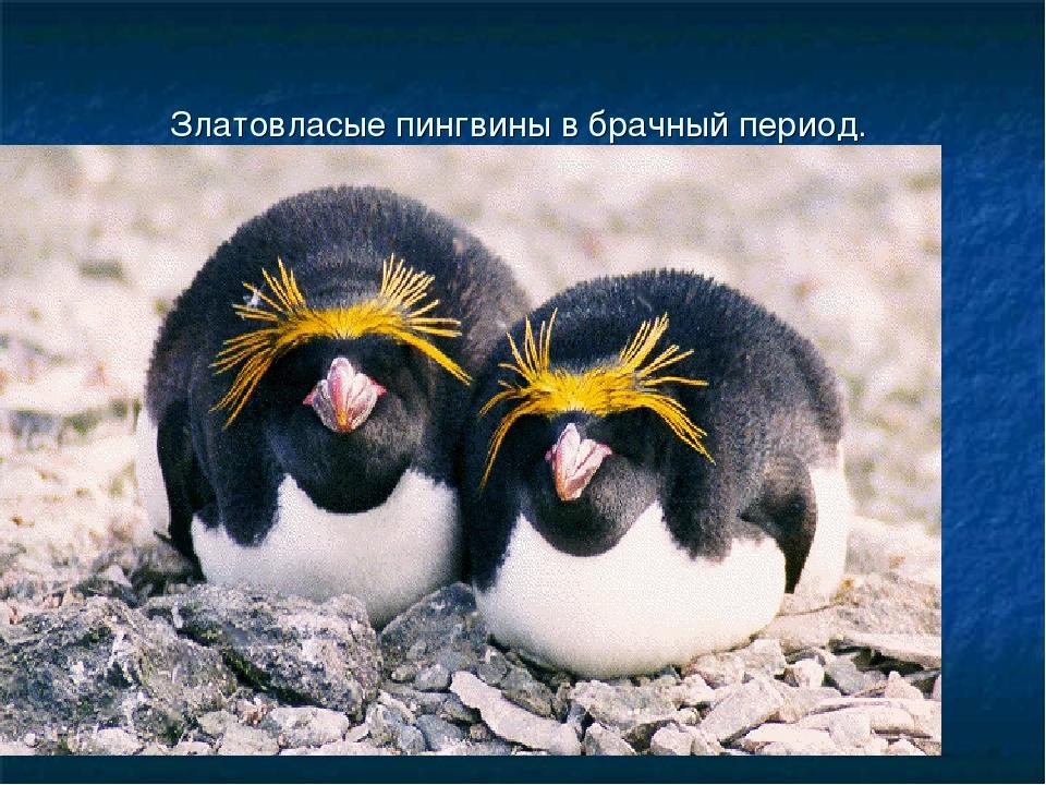 Златовласые пингвины в брачный период.
