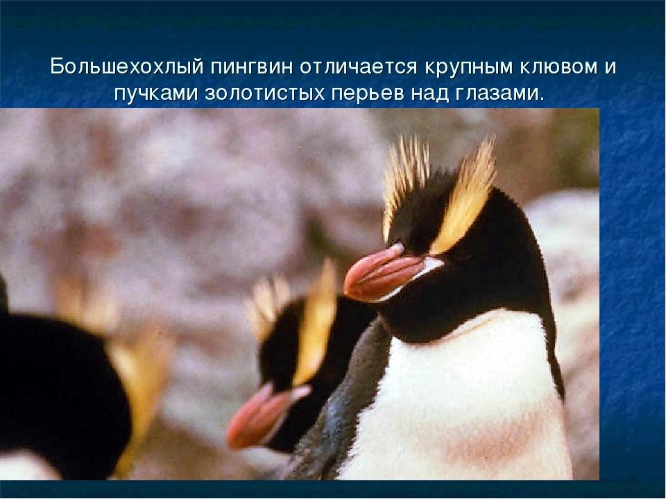Большехохлый пингвин отличается крупным клювом и пучками золотистых перьев на...