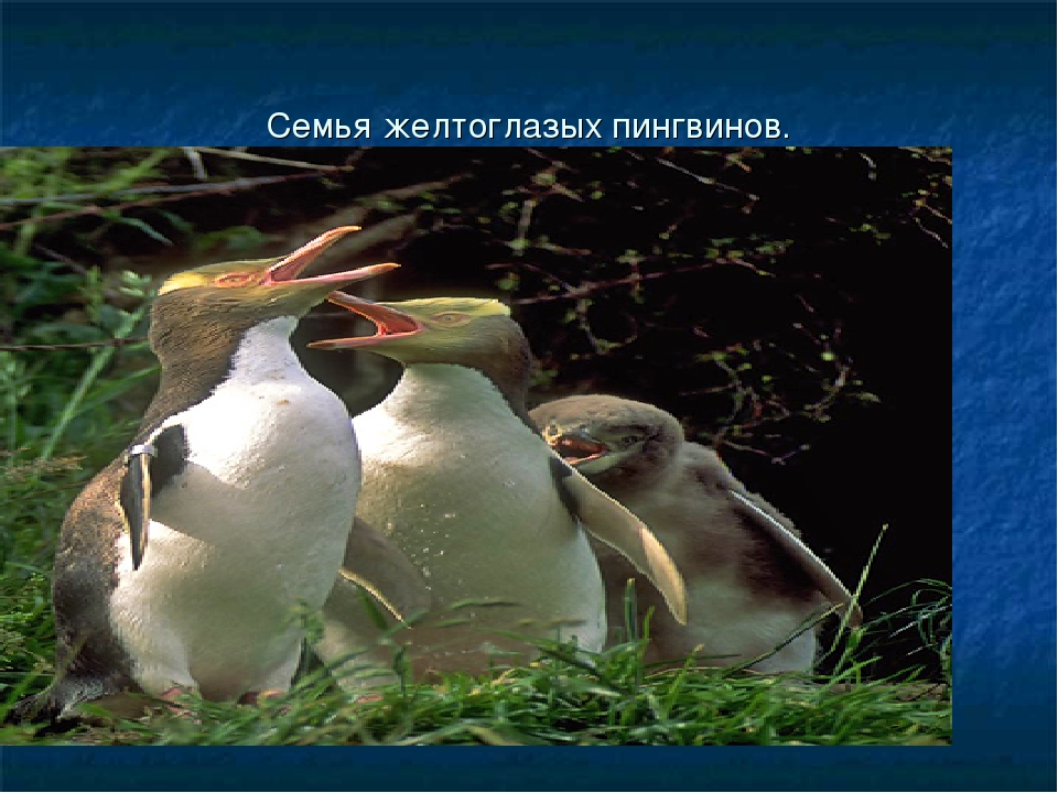 Семья желтоглазых пингвинов.