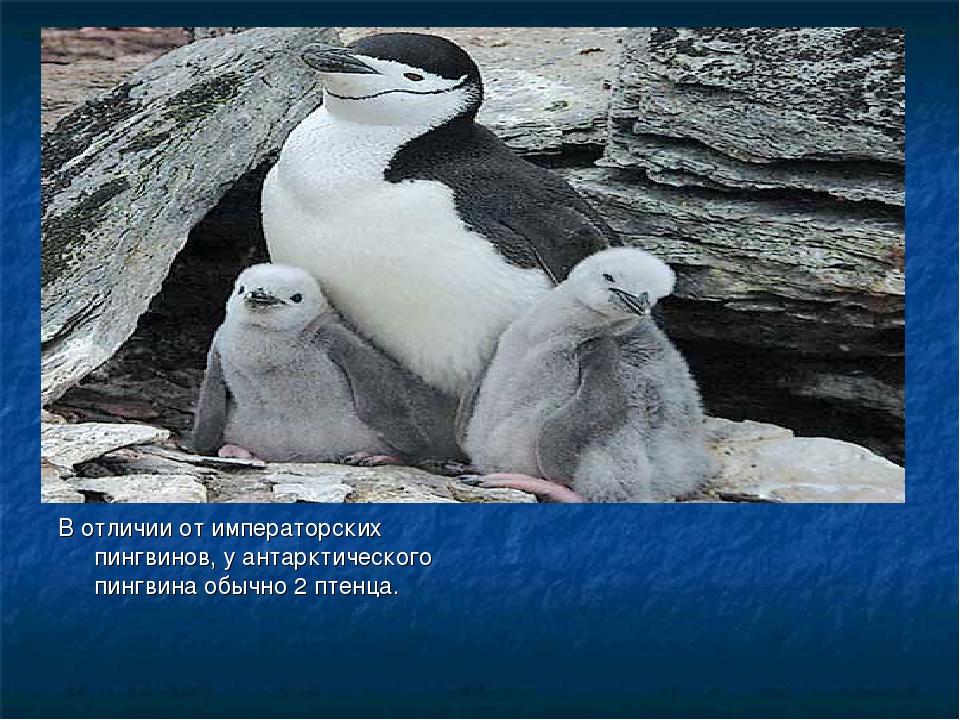 В отличии от императорских пингвинов, у антарктического пингвина обычно 2 пт...