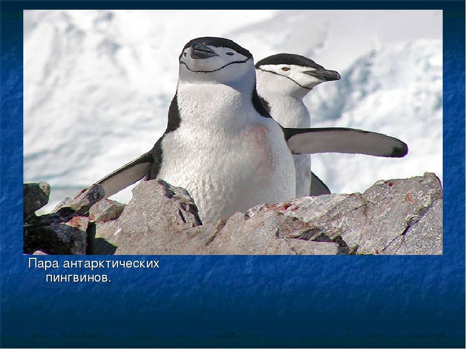 Пара антарктических пингвинов.